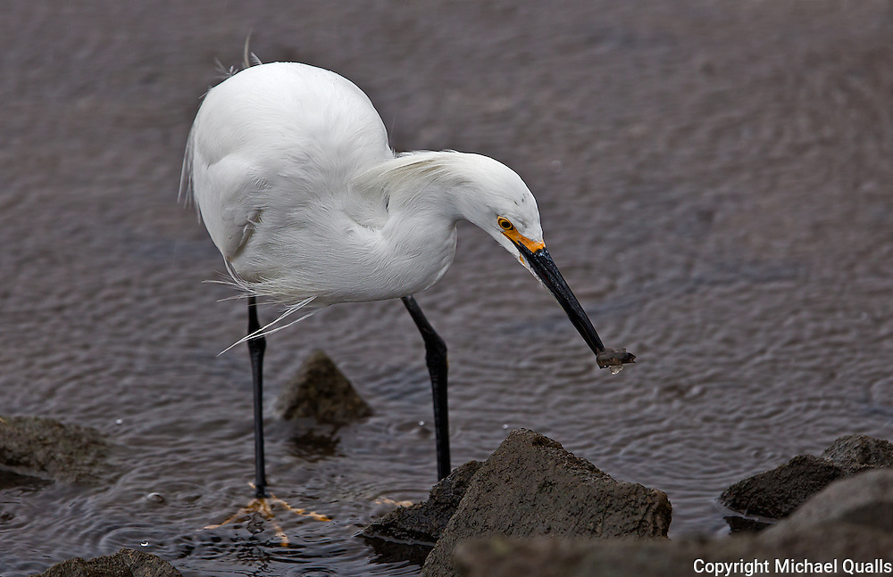 Snowy Egret and catch!  Third image in a sequence of four.