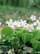 WOOD SORREL Oxalis acetosella (Oxalidaceae) (Fabaceae) Height to 10cm. Charming, creeping perennial. An indicator of ancient, undisturbed woodlands and hedges. FLOWERS are 1cm across, bell-shaped and white or pale pink with lilac veins; borne on stalks (Apr-Jun). FRUITS are hairless capsules. LEAVES are trefoil, fold down at night, and are borne on long stalks.