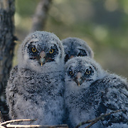 Great Gray Owl with chicks in nest in an old growth forest during spring.