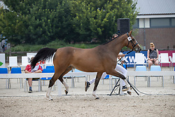 016, Mac Flurry<br /> Nationaal Kampioenschap KWPN<br /> 3 jarige springmerries<br /> © Hippo Foto - Dirk Caremans<br />  15/08/2020