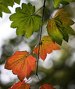 Vine Maple just starting to transition from its summer green to fall color at the Washington Park Aboretum.<br />