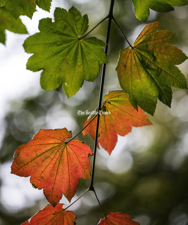 Vine Maple just starting to transition from its summer green to fall color at the Washington Park Aboretum.<br /> <br /> Steve Ringman / The Seattle Times