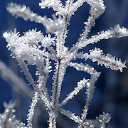 Ice crystals cling to dry brush photographed at first light. (Steve Ringman / The Seattle Times)