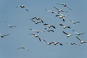 Wildlife birding photographs of Snow Geese (Chen caerulescens)