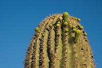 Buds of saguaro cactus, Carnegiea gigantea (Cereus giganteus) Organ Pipe Cactus National Monument, Arizona.
