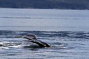 Humpbacks bubble net feeding in Chatham Strait, Southeast Alaska.