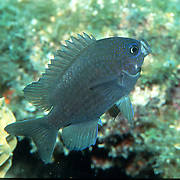 Purple Reeffish inhabit deep reefs in Tropical West Atlantic; picture taken Key Largo, FL.