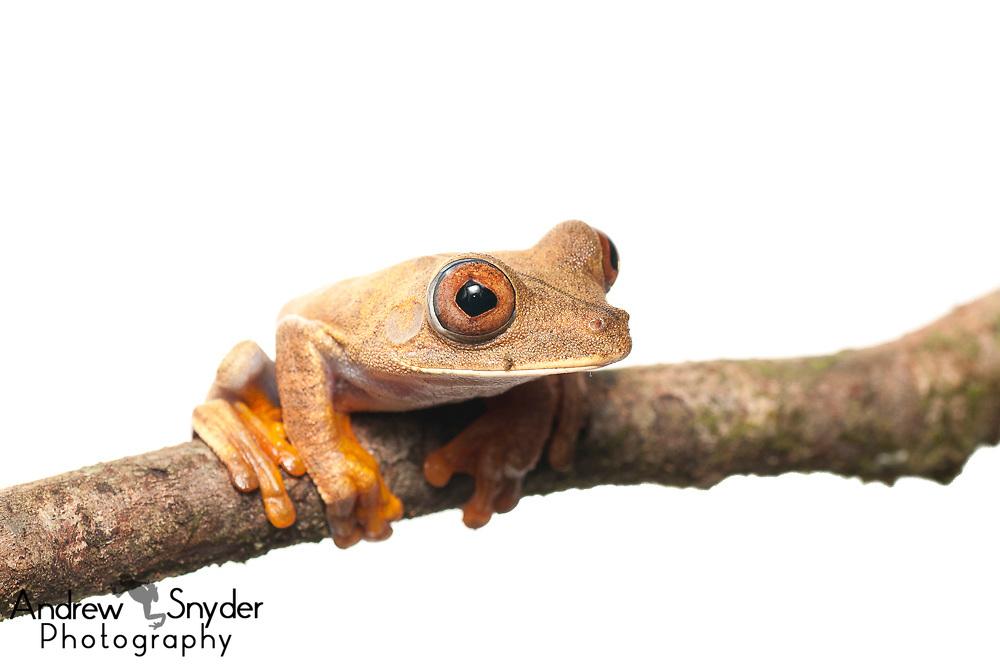 Map Tree frog, Hypsiboas geographicus, Chenapau, Guyana, March 2014