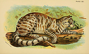 The Pampas cat (Leopardus colocola) [Here as colocola (Felis colocola)] is a small wild cat native to South America. From the book ' A handbook to the carnivora : part 1 : cats, civets, and mongooses ' by Richard Lydekker, 1849-1915 Published in 1896 in London by E. Lloyd