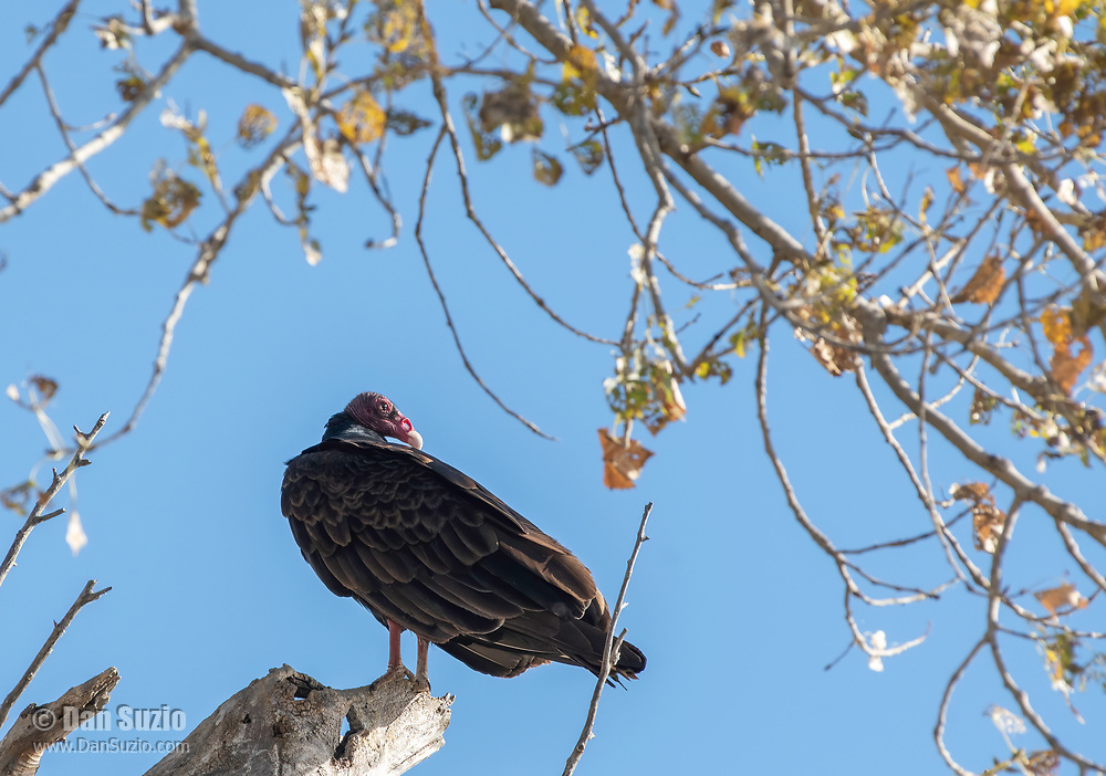 A Turkey Vulture, Cathartes aura, perches in a tree at Sacramento National Wildlife Refuge, California