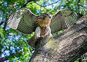 Red Tale hawk is in Central Park, NYC.