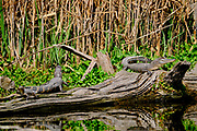 A group of juvenile American alligators warm in the winter sun on a log at the Bear Island Wildlife Management Area in Green Pond, South Carolina.