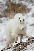 Mountain goat during winter in Wyoming