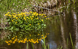 THEMENBILD - Sumpfdotterblumen an einem kleinen, ruhigen Zufluss des Zeller Sees, aufgenommen am 20. April 2019, Zell am See, Österreich // Marsh marigolds at a small, quiet tributary of the Zeller Lake on 2019/04/20, Zell am See, Austria. EXPA Pictures © 2019, PhotoCredit: EXPA/ Stefanie Oberhauser