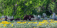 Grizzly 399, the Queen of the Tetons showing off her quadruplets.  They warned there would be a population boom after quarantine.