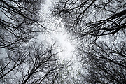 A grove of alder trees reach for the winter sky along the Russian River, Jenner, California