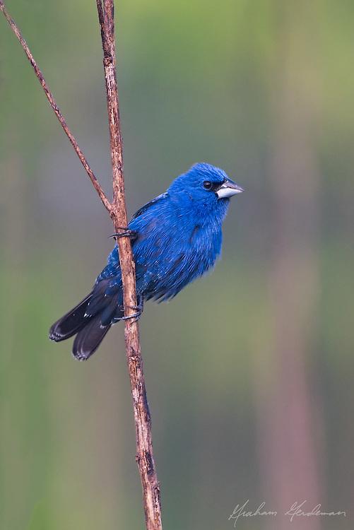 Blue Grosbeak (Passerina caerulea)