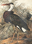The woolly-necked stork or whitenecked stork (Ciconia episcopus) is a large wading bird in the stork family Ciconiidae. It breeds singly, or in small loose colonies. It is distributed in a wide variety of habitats including marshes in forests, agricultural areas, and freshwater wetlands. 18th century watercolor painting by Elizabeth Gwillim. Lady Elizabeth Symonds Gwillim (21 April 1763 – 21 December 1807) was an artist married to Sir Henry Gwillim, Puisne Judge at the Madras high court until 1808. Lady Gwillim painted a series of about 200 watercolours of Indian birds. Produced about 20 years before John James Audubon, her work has been acclaimed for its accuracy and natural postures as they were drawn from observations of the birds in life. She also painted fishes and flowers. McGill University Library and Archives