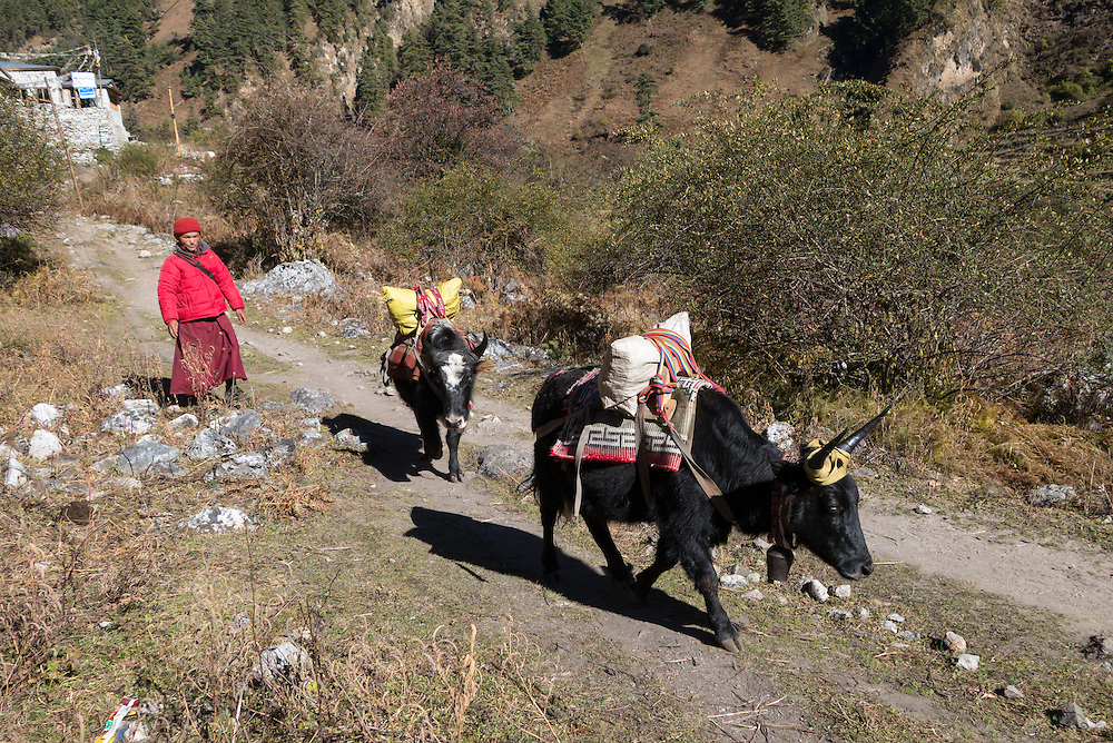 Monk herding cow/yak hybrids, known as dzos, that are being used to carry supplies, in the Manaslu region of Nepal.