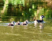 Wood Duck (Aix sponsa). Female with chicks. Image taken with a Nikon D3 camera and 80-400 mm lens.
