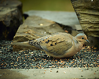 Mourning Dove. Image taken with a Nikon D4 camera and 600 mm f/4 VR lens (ISO 320, 600 mm, f/4, 1/200 sec).