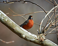 American Robin. Image taken with a Nikon Df camera and 600 mm f/4 VR lens (ISO 100, 600 mm, f/8, 1/160 sec).