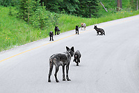 Adult wolf with young pups