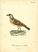 Alouette a gros bec [Large-billed lark] from the Book Histoire naturelle des oiseaux d'Afrique [Natural History of birds of Africa] Volume 4, by Le Vaillant, Francois, 1753-1824; Publish in Paris by Chez J.J. Fuchs, libraire 1805