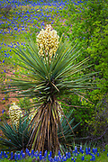 "Yucca is a genus of perennial shrubs and trees in the family Asparagaceae, subfamily Agavoideae. Its 40-50 species are notable for their rosettes of evergreen, tough, sword-shaped leaves and large terminal panicles of white or whitish flowers. They are native to the hot and dry (arid) parts of North America, Central America, South America, and the Caribbean. Early reports of the species were confused with the cassava (Manihot esculenta). Consequently, Linnaeus mistakenly derived the generic name from the Taíno word for the latter, yuca (spelled with a single ""c"". It is also colloquially known in the lower Midwest United States as ""ghosts in the graveyard"", as it is commonly found growing in rural graveyards and when in bloom the cluster of (usually pale) flowers on a thin stalk appear as floating apparitions."