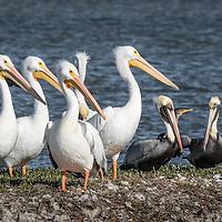 Pelicanus erythrorhynchos, Pelicanus occidentals, Phalacrocorax brasilianus, Texas