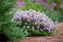 Thymus vulgaris 'Jekka' - Jekka's Thyme - growing beside a brick path.