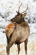 Young Bull Elk licking the snow off of his back
