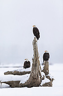 Three Bald Eagles (Haliaeetus leucocephalus) perched on tree stump duirng snow storm  on Chilkat River in Southeast Alaska. Winter. Afternoon.