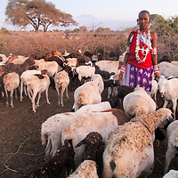Sanaiyan, poses for a picture while taking counter of the sheep at sundown. <br /> After all the livestock has returned from grazing, the women in a homestead take counter of all of them to ensure that none was lost or attacked by wildlife, while they were out grazing.<br /> When one of the livestock is missing, the warriors often set out for a hunt to find it. <br /> Their mothers discourage the young warriors from retaliating when one of the livestock has been mauled.