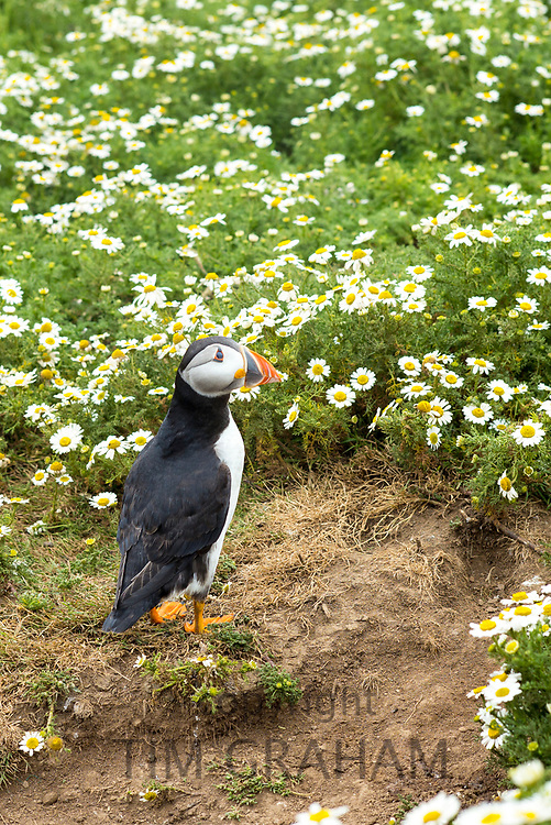 Puffin - pelagic seabird, Fratercula, on land by nest in breeding season on Skomer, National Nature Reserve, South West Wales