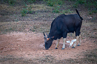 The gaur (Bos gaurus), also called Indian bison, is the largest extant bovine, native to the Indian Subcontinent and Southeast Asia. <br /> The gaur is the tallest of all wild cattle species. Kaeng Krachan National Park, Thailand.