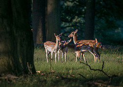 © Licensed to London News Pictures. 25/06/2020. London, UK. Fawns enjoy the warm conditions in the early morning at Richmond Park in west London. Record temperatures are expected this week as the UK starts to relax lockdown restrictions, introduced earlier this year to prevent the spread of COVID-19.<br /> Photo credit: Marcin Nowak/LNP