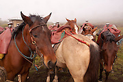 horses saddled in preparation to ride the trail to the volcanic crater of Sierra Negra on Isabela Island, Galapagos Archipelago - Ecuador.