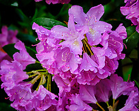 Rhododendron flowers. Image taken with a Fuji X-T3 camera and 80 mm f/2.8 OIS macro lens