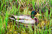 Mallard duck, Yosemite Valley, Yosemite National Park, California USA