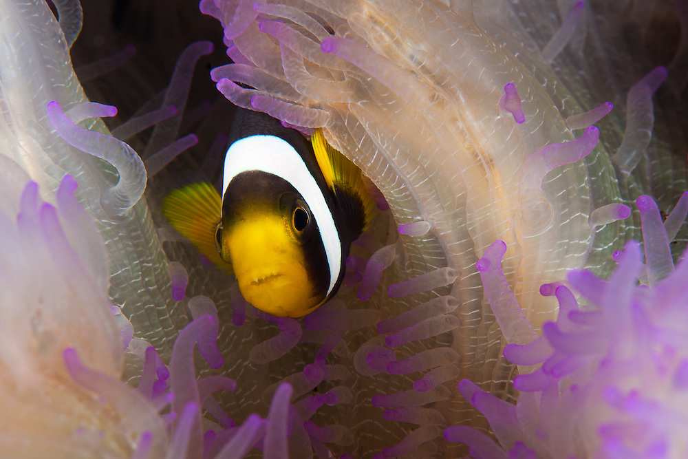 INDONESIA. Tulamben, Bali. May 29th, 2013. A Clark's anemonefish (sp. amphiprion clarkii) Anemonefish looks out from its nest inside an anemone.