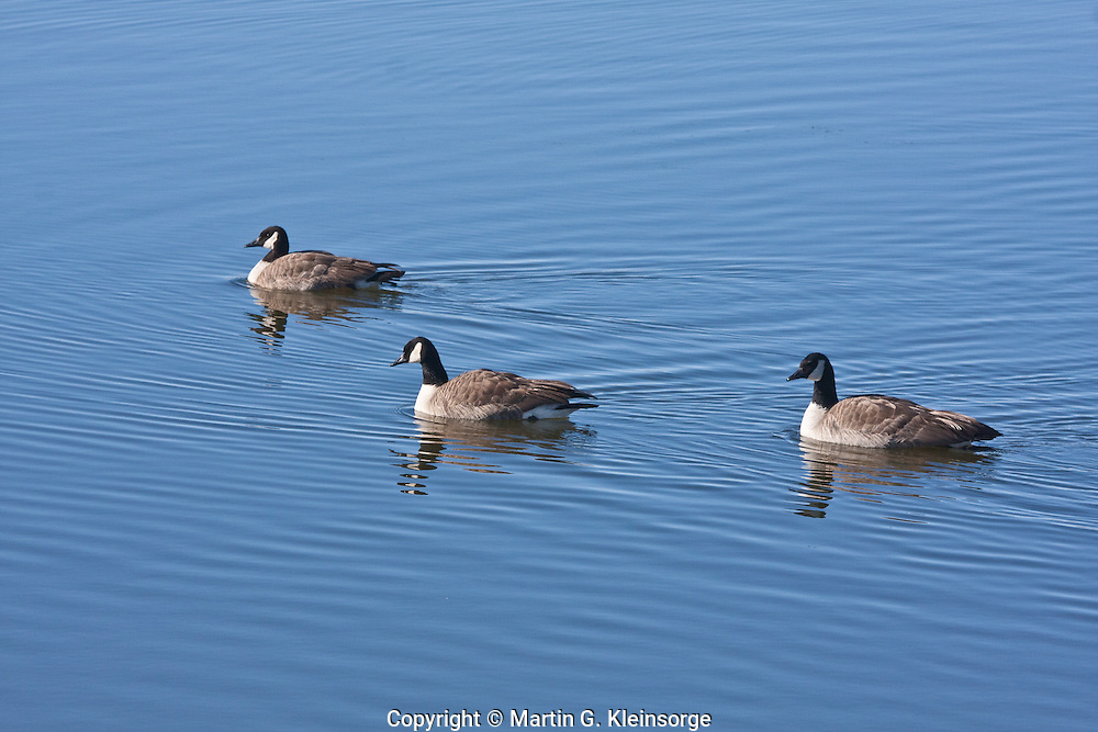 Canada Geese (Branta canadensis) at Cherry Creek Reservoir, Colorado.