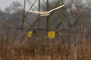 Barn owl (Tyto alba) quartering water meadow. Surrey, UK.
