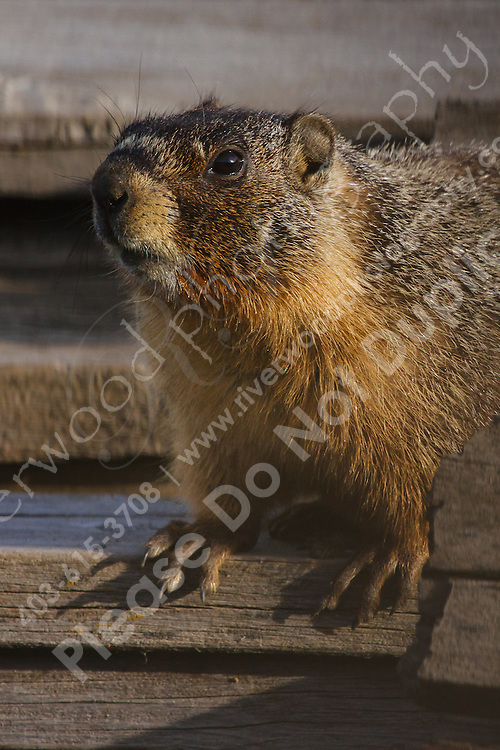We were driving to a new location when I looked over and saw big furry things scurrying off of a woodpile.  We stopped and found this Marmot sunning itself on the woodpile.<br /> <br /> ©2009, Sean Phillips<br /> http://www.Sean-Phillips.com