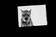 Young spotted hyena curiously pokes through a small window at the Mashatu hide in Botswana.