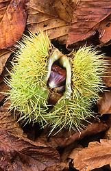 Sweet chestnut amongst fallen leaves. Castanea sativa