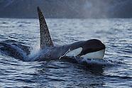 Orcas and humpbacks, Norway