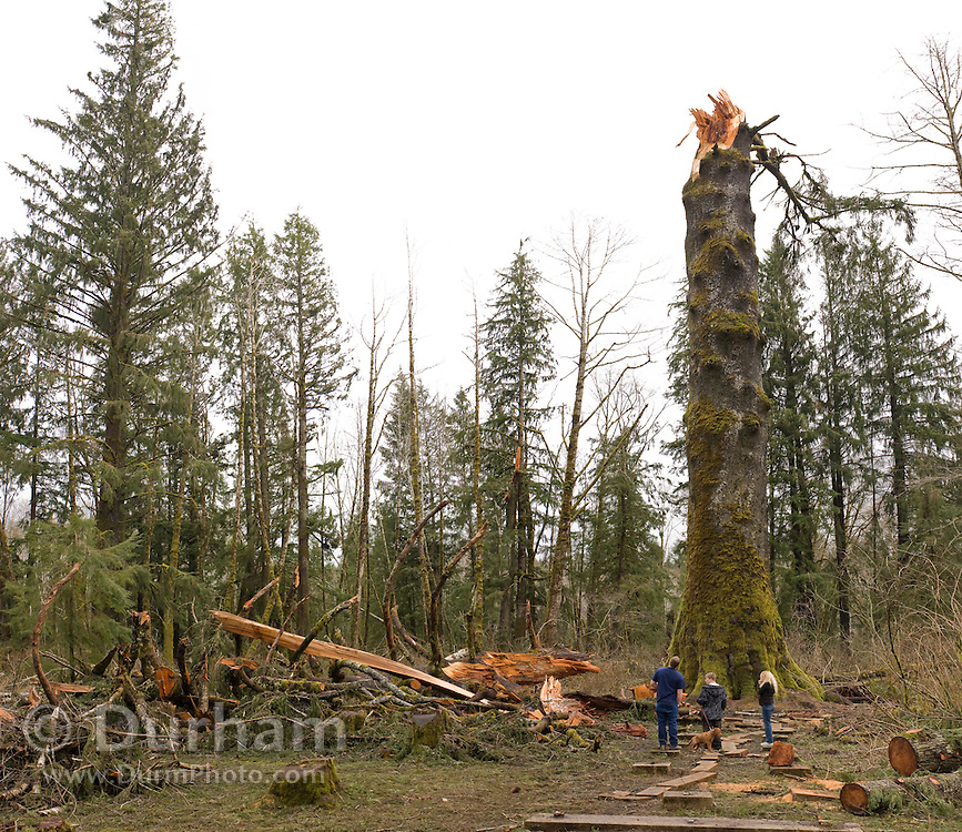 """Tourists look at the remains of the """"Klootchy Creek Giant"""", formerly the largest sitka spruce tree in the United States. It snapped off 75 feet above the ground in a December 2007 wind storm that had gusts over 100 mph. The tree, estimated at 700 years old, was 206 feet tall."""