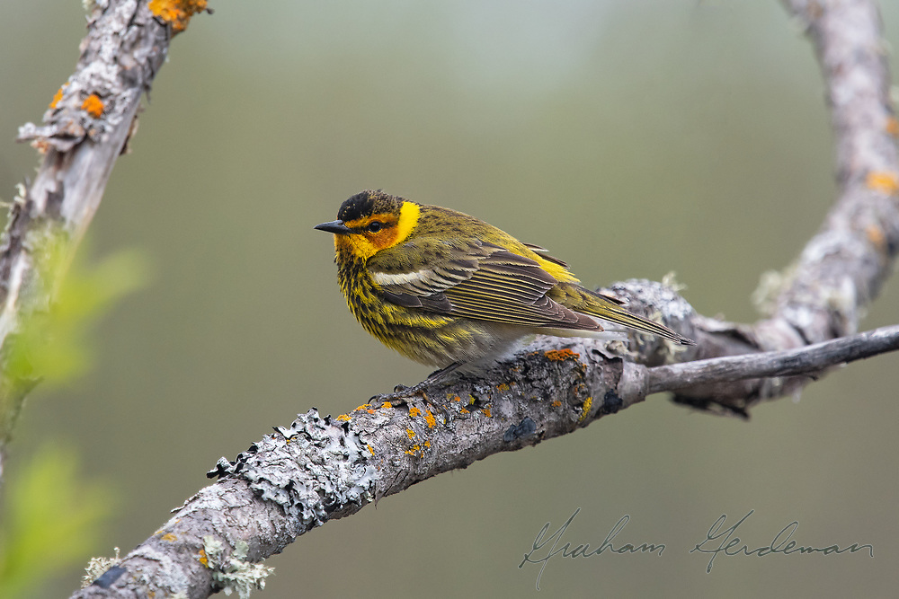 One of our most stunning neotropical migrants, a male Cape May Warbler