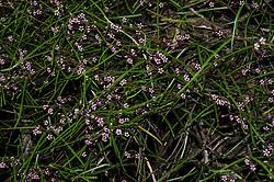 Parsonsia capsularis var. rosea.